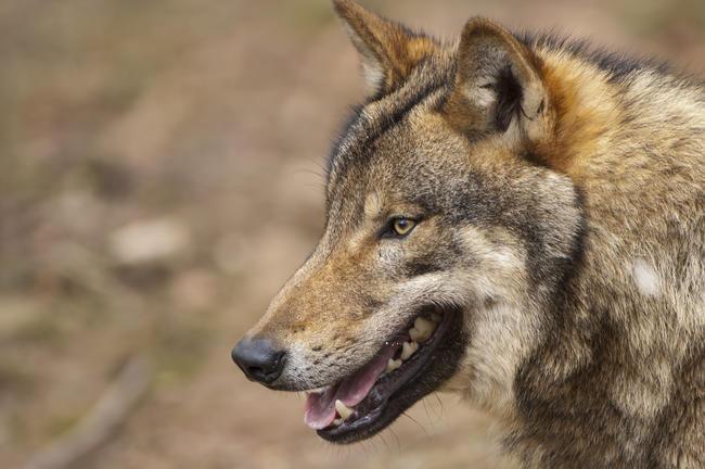 Vergangenen Samstag soll ein Wolf Jagdhunde während der Jagd attackiert haben.