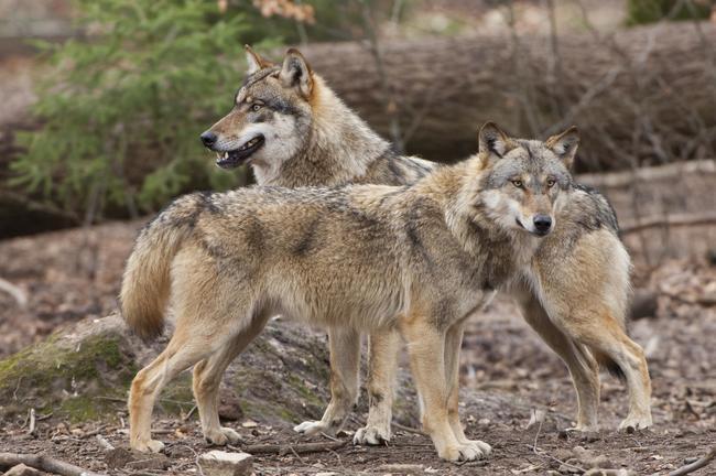 Der Wolf hat keine angeborene Scheu vor dem Menschen.