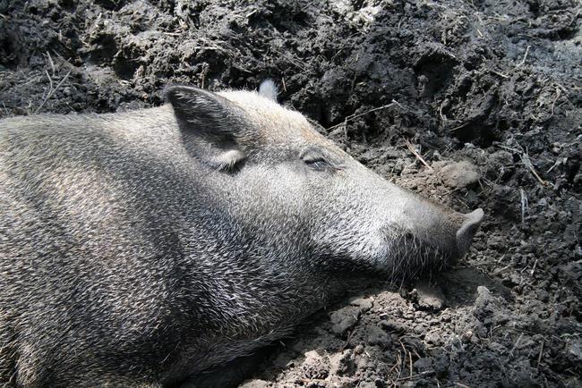 Ein Wildschwein findet in der Suhle Abkühlung und Parasitenschutz