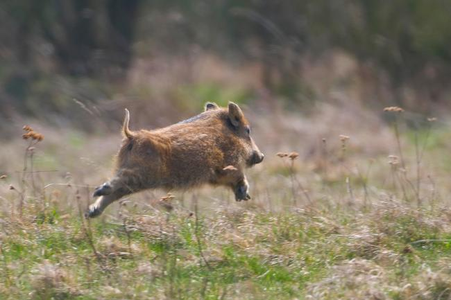 Ein Zaun soll verhindern, dass deutsche Wildschweine nach Dänemark übersiedeln.