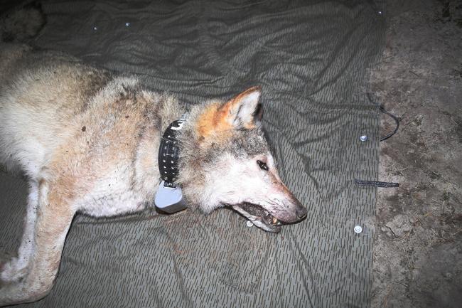"""Wolfsrüde """"Torben"""" mit GPS-Halsband"""