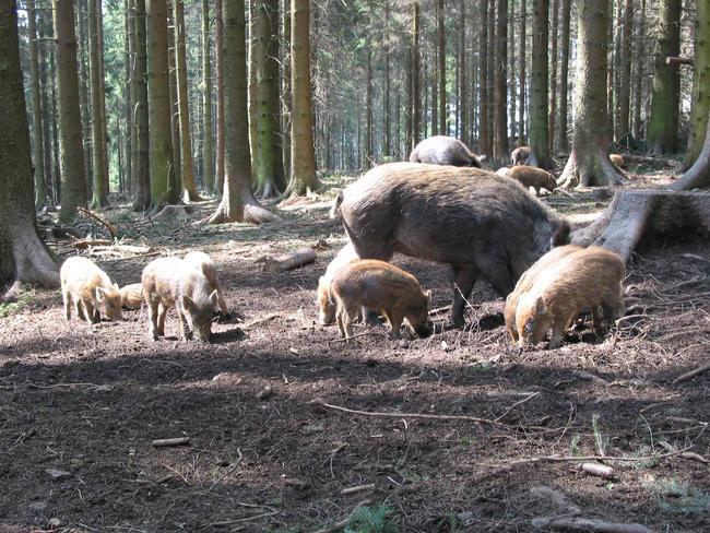 Wildschweinjagd: 16,4 Millionen Stunden waren Jäger in der Saison 2017/18 auf der Lauer