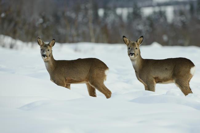 Der Winter mit seinen kurzen Tagen ist vor allem für Vegetarier wie das Reh eine schwere Zeit.