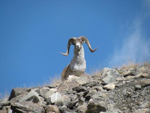 Argali in Kirgisistan. Diese Argali-Unterart profitiert von nachhaltiger Jagd. (Quelle: Davletbakov/privat)