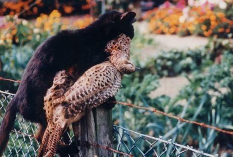 Katze mit Fasanenhenne  (Quelle: DJV)