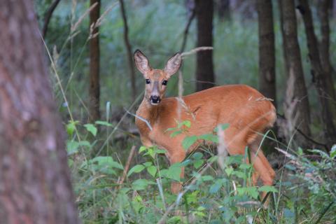 Wildtiere sind nicht für eine verfehlte Forstpolitik von über drei Jahrzehnten verantwortlich. (Quelle: Hamann/DJV)