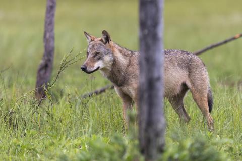 Bundestag beschließt die Änderung des Bundesnaturschutzgesetzes. Ein aktives Management fehlt weiterhin. Die Zahl der Wölfe steigt 2020 auf 1.800, Nutztierrisse nehmen zu.