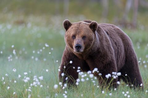 Portrait Braunbär