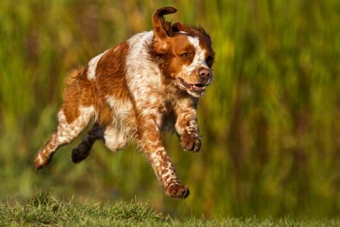 Bretonischer Vorstehhund