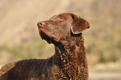 Chesapeake Bay Retriever (Apportierhund)