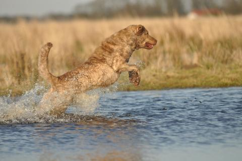 Chesapeake Bay Retriever (Apportierhund) 2