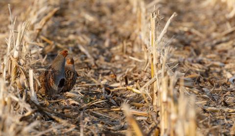 Bewohner des Lebensraum Feldflur sind Rebhühner. Ihr dramatischer Rückgang wird ein Thema der Grünen Woche 2019 sein. (Quelle: Seifert/DJV)