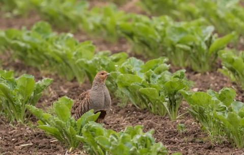 Das Rebhuhn wird in der Agrarlandschaft immer seltener. (Quelle: Seifert/DJV)