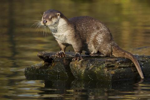 Fischotter am Wasser (Quelle: Rolfes/DJV)