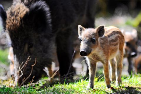Wenn es um ihren Nachwuchs geht, versteht die Bache keinen Spaß: Aufgebrachte Wildschweinmütter können einen (zu) neugierigen Hund auch mal schwer verletzen. (Quelle: djv/kaufmann)
