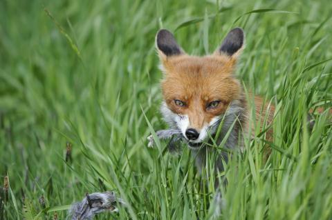 Erfolgreiche Tollwutimpfung: Füchse haben Bestand verdreifacht und gefährden Artenvielfalt. (Quelle: Rolfes/DJV)
