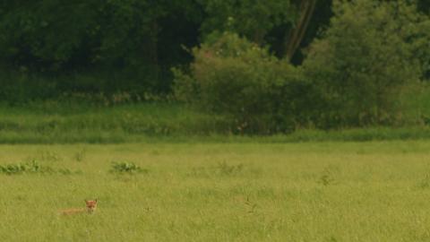 Fuchs auf Wiese DVD Auf der Jagd