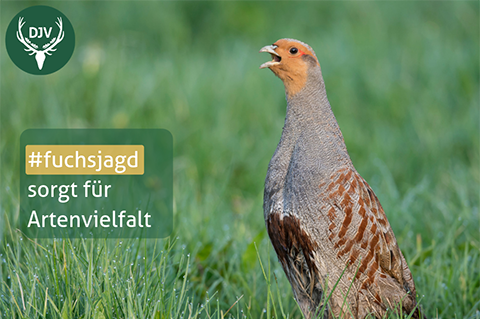 Fuchsjagd Info-Kachel Jagdfakten