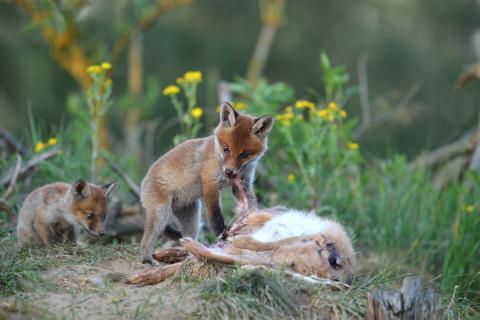 Fuchswelpe an totem Hasen