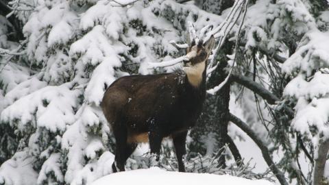 Gams Winter DVD Auf der Jagd