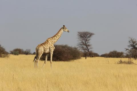 Giraffe in einer Conservancy in Namibia