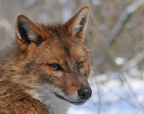 Goldschakal Canis aureus (Quelle: Goldschakalprojekt Österreich/Leopoldsberger/DJV)