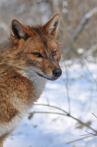 Goldschakal Canis aureus
