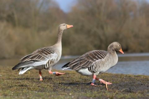 Jagdorganisationen haben das Nordwesteuropäische Wasservogel-Netzwerk gegründet. (Quelle: Hinrichs/DJV)