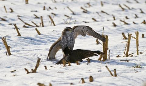 Habicht schlägt eine Krähe im Winter