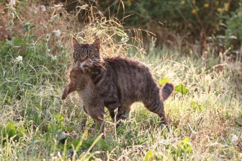 Nicht nur Feldhasen, sondern auch andere kleine Säugetiere fallen wildernden Hauskatzen zum Opfer. (Quelle: DJV)