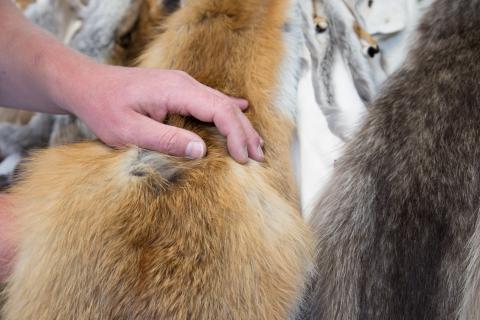 Abgezogene Tierhäute aus heimischer Jagd werden zu hochwertigen Fellen verarbeitet. (Quelle: Menauer/LJV BW)