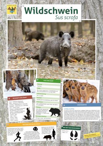 Das neue Lernort-Natur-Plakat mit wissenswerten Informationen zum Schwarzwild