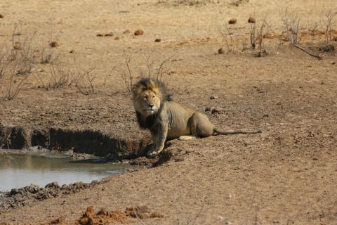Jagd kann zum Schutz der Löwen beitragen. (Quelle: DJV)