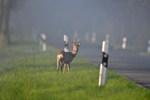 An 86 Prozent der Wildunfälle in Deutschland sind Rehe beteiligt. (Quelle: MRoss/DJV)