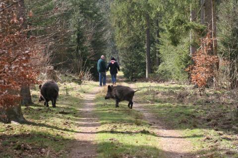 Schwarzwild überquert einen Waldweg