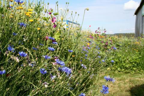 Mehrjährige Wildpflanzenmischungen können eine Alternative in der Biomasseproduktion sein (Quelle: Börner/ DJV).