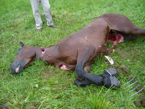 Totes Pferd nach Braunbärangriff