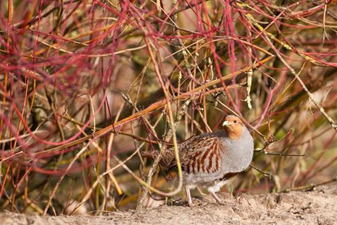 Besonders gefährdet: Bodenbrütende Arten wie das Rebhuhn. (Quelle: Rolfes/DJV)