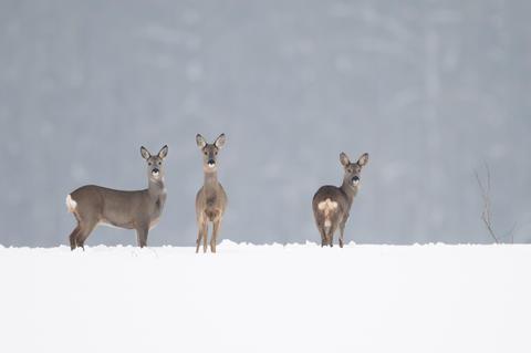 Rehe schränken ihre Mobilität in den Wintermonaten stark ein  (Quelle: Rolfes/DJV)
