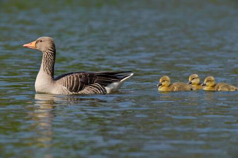 Graugans mit Jungvögeln (Quelle: Rolfes/DJV)