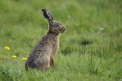 """Feldhasen sind Vegetarier und bevorzugen Wildkräuter und -gräser, die sogenannte """"Hasenapotheke"""". (Quelle: Rolfes/DJV)"""
