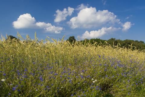 Kornblumen im Roggenfeld