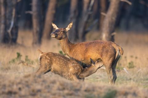 Säugendes Alttier mit Kalb