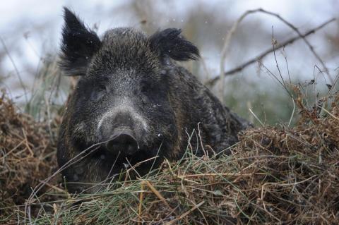 Nicht das Wildschwein, sondern der Mensch ist der Hauptüberträger der ASP. (Quelle: Rolfes/DJV)