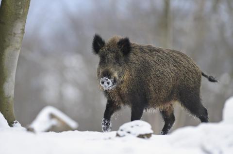 Wildschweine könnten die Landwirtschaft ruinieren (Quelle: Rolfes/DJV)