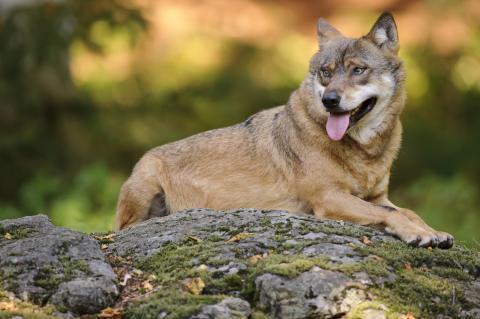 Wolf liegend