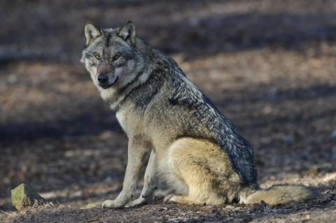 Wolf (Quelle: Rolfes/DJV)