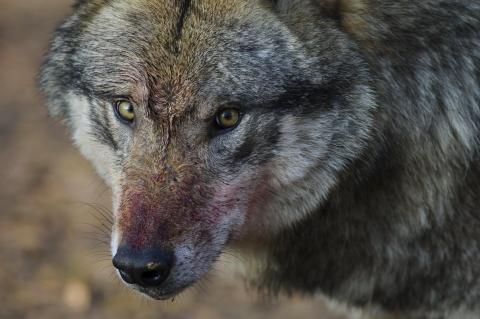 Die massive tödliche Attacke auf eine Schafherde im Nordschwarzwald geht auf das Konto eines einzelnen Wolfes. (Quelle: Rolfes/DJV)