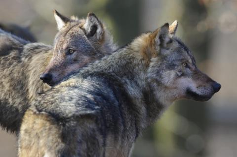 Wolfspopulation breitet sich weiter aus: Es fehlen weiterhin praktikable Leitilinien für Konfliktfälle. (Quelle: Rolfes/DJV)