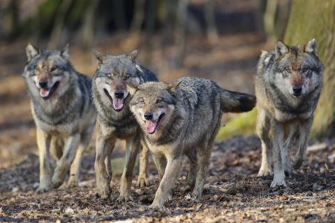 Wolfsrudel (Quelle: Rolfes/DJV)